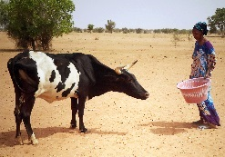 Senegal Cow